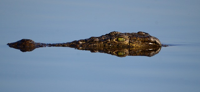 hlava krokodýla